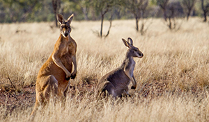 Kangaroos standing in the field